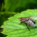 Flesh Flies & Disease